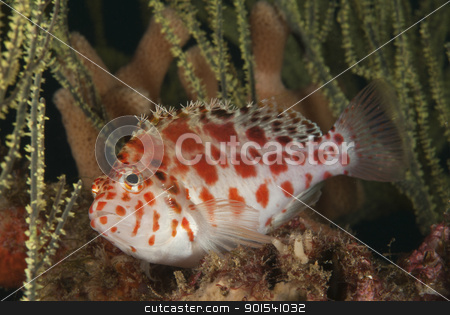 Spotted hawkfish stock photo, A spotted hawkfish swimming between seagrass, Kwazula Natal, South Africa by Fiona Ayerst Underwater Photography