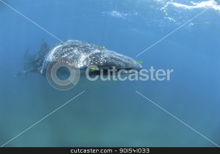 Plankton feeder stock photo, The front view of a nearing whale shark, KwaZulu Natal, South Africa by Fiona Ayerst Underwater Photography