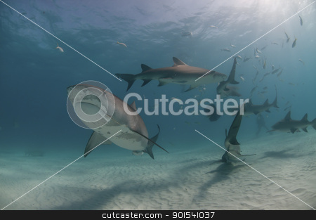 Hooked shark stock photo, Close up on a shark hooked on the side of it's mouth, Bahamas by Fiona Ayerst Underwater Photography