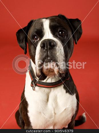 Sad Dog stock photo, Sad Boxer on red background by Anne-Louise Quarfoth
