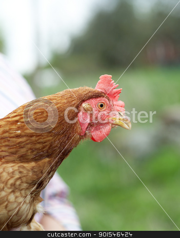 Poultry stock photo, Single Poultry with selective Focus by Anne-Louise Quarfoth