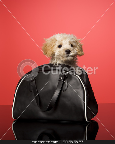 Sweet Dog stock photo, Sweet dog in a bag on red background by Anne-Louise Quarfoth