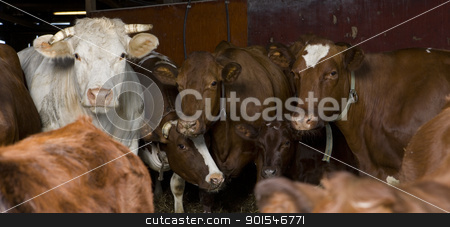 Cows stock photo, Large group of cows indoor by Anne-Louise Quarfoth