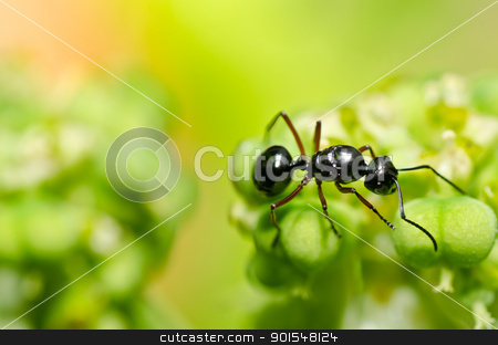 black ant in green nature stock photo, black ant in green nature or in the garden by sweetcrisis