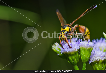 yellow wasp in green nature or in garden stock photo, yellow wasp in green nature or in garden. It's danger. by sweetcrisis