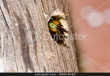 Carpenter bee in the nature stock photo, Carpenter bee in the nature or in the garden.It's danger by sweetcrisis