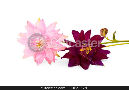 Aquilegia stock photo, Pink and vinous flowers aquilegia isolated on white background by rezkrr
