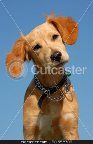puppy brittany spaniel stock photo, portrait of a puppy brittany spaniel on a blue sky, focus on the eyes by Bonzami Emmanuelle