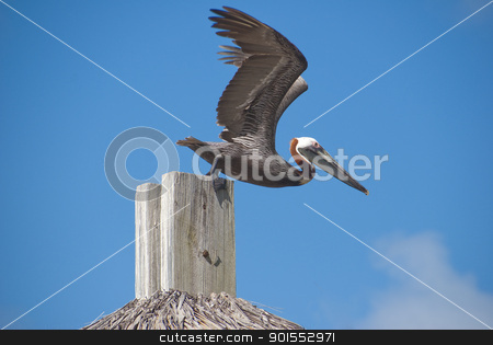 Pelican stock photo, Pelican ready for takeoff off a post,in the BVI islands by Christian Delbert