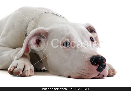 young  dogo argentino stock photo, portrait of a purebred puppy argentinian dog in front of white background by Bonzami Emmanuelle