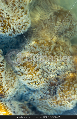leather coral stock photo, A leather or 'toadstool' coral, Sarcophyton sp with polyps extended in the current by Stephen Gibson