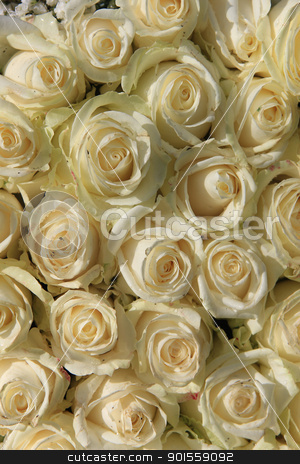 group of white roses stock photo, A group of white roses in the sun by Porto Sabbia