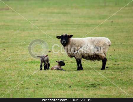 Sheep and twin lambs stock photo, Female Sheep or ewe and new-born twin lambs by Susan Robinson