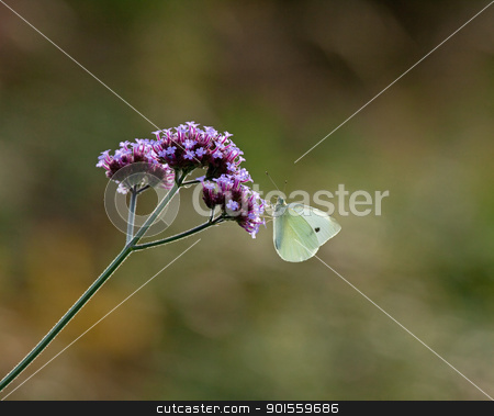 Small White butterfly stock photo, Small White butterfly on Verbena Bonariensis by Susan Robinson