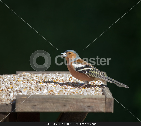 Chaffinch male stock photo, small garden bird Chaffinch male by Susan Robinson
