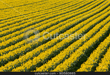 Rows of flowering yellow daffodil flowers in a field.  stock photo, Lots of rows of flowering yellow daffodil flowers in a field.  by Stephen Rees