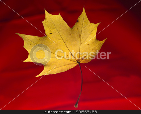 Maple Leaf stock photo, Maple Leaf isolated on Red background by Anne-Louise Quarfoth