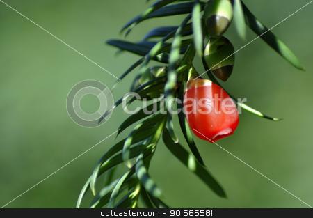 Red fruit pine tree. stock photo, Red fruit pine tree. Close up. by jmffotos