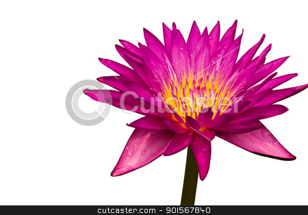 Pink lotus, Water lily  stock photo, Pink lotus, Water lily isolated on white background by Lavoview