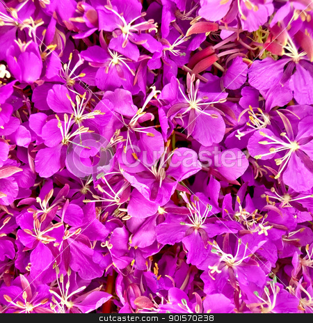 The texture of the flowers of fireweed stock photo, The texture of pink fireweed flowers by rezkrr