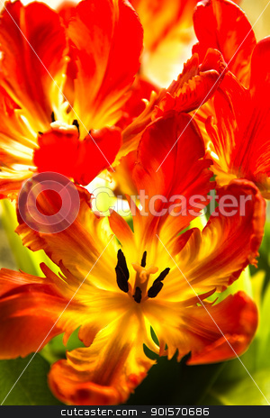 Parrot tulips with backlight stock photo, Parrot tulips - funny spring flowers with ruffled and twisted petals in bright colors - vertical image by Colette Planken-Kooij