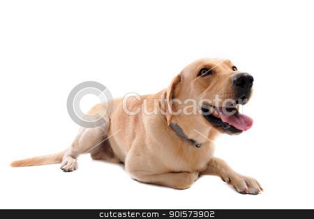 labrador retriever stock photo,  purebred  labrador retriever in front of a white background by Bonzami Emmanuelle