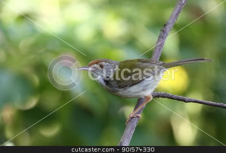 Common Tailorbird ( Orthotomus sutorius ) stock photo, Common Tailorbird ( Orthotomus sutorius ) by kamonrat