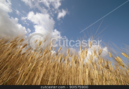 Wheat stock photo, Ear of the wheat on field. Composition of the nature by Maurizio Martini