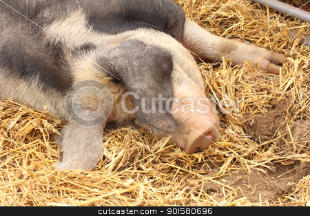 close up of a very big pig pink and black stock photo, close up of a very big pig pink and black by Chretien