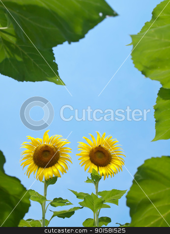 Natural frame of sunflowers stock photo, Natural frame of sunflowers with leafs against blue sky in look up view from the ground by Exsodus
