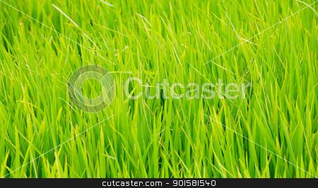 Green grass background texture straight  stock photo, Green grass background texture straight  by dacasdo