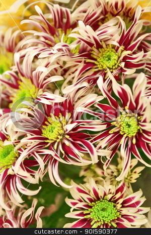 chrysanthemums stock photo, striped background of chrysanthemums by mrivserg