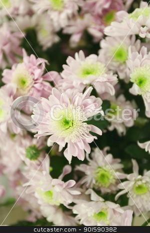chrysanthemums stock photo, flowers  chrysanthemums by mrivserg