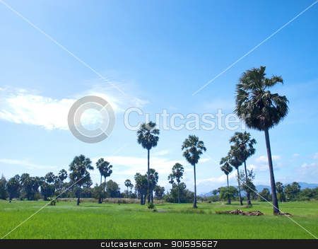 Paddy field stock photo, Paddy field with Asian Palmyra palm(Sugar palm) in clear sky by Exsodus