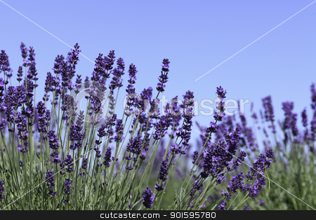 Lavender flowers stock photo, Lavender flowers blooming in a field during summer by gustavotoledo
