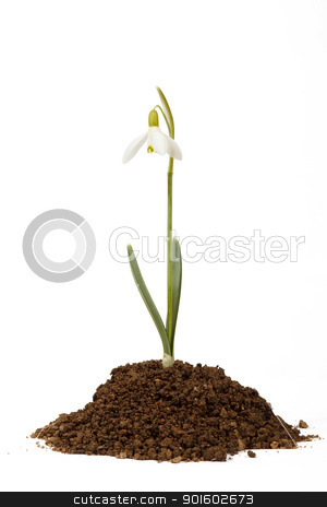 snowdrop first messenger of spring in the soil stock photo, snowdrop first messenger of spring in the soil on white background by Artush