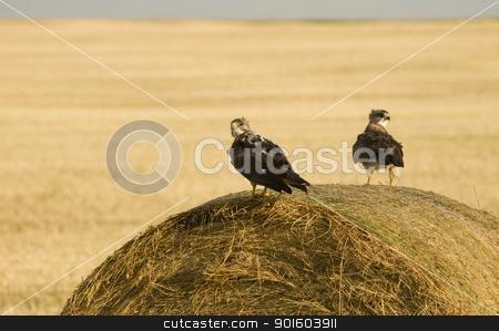 Swainson Hawks on Hay Bale stock photo, Swainson Hawks on Hay Bale after storm Saskatchewan by Mark Duffy