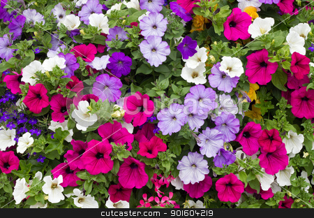 Colorful petunia flowers close up. stock photo, Colorful petunia flowers close up. by Stephen Rees