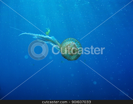 Wild Jelly Fish Floating In Ocean stock photo, Underwater shot of jelly fish with visible sun rays in background by KonArt