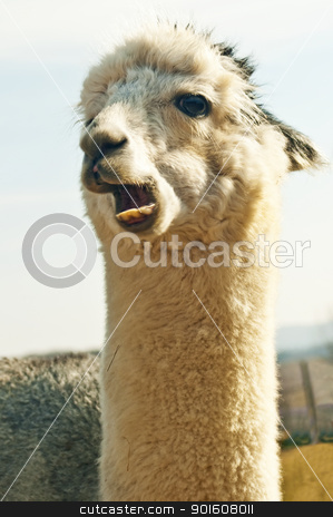 Alpaca stock photo, Alpaca by Hans-Joachim Schneider