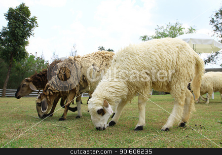 Sheep in farm stock photo, Sheep in farm by kamonrat