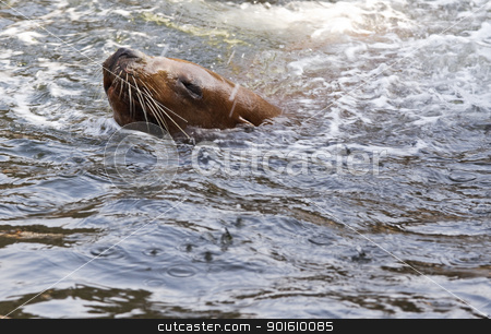 Swimming sea-lion stock photo, Sea-lion swimming and splashing water by Colette Planken-Kooij