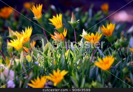 Ice Plant stock photo, Very colorful bright orange yellow ice plant. by Henrik Lehnerer