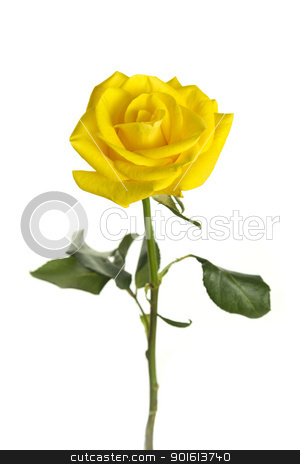 isolated rose stock photo, rose in front of a white background by FranziskaKrause