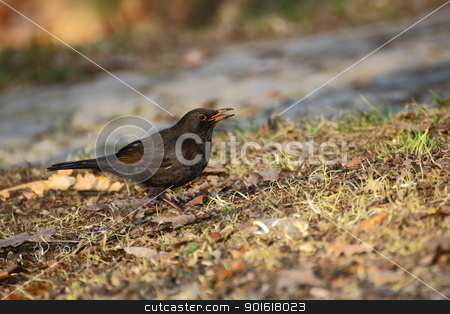 female blackbird stock photo, female blackbird looking after material for the nest by coroiu octavian