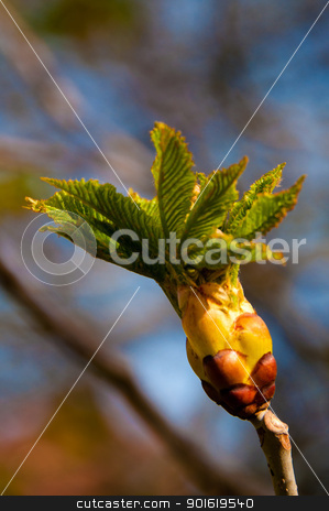 Chestnut Bud stock photo, close up of a chestnut bud on the twig in early spring by Frank G?