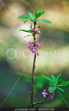 Daphne Mezereum stock photo, daphne mezereum sprout in bloom at springtime by Petr Malyshev