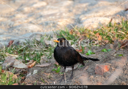 cantankerous bird stock photo, cantankerous male blackbird defending its territory by coroiu octavian