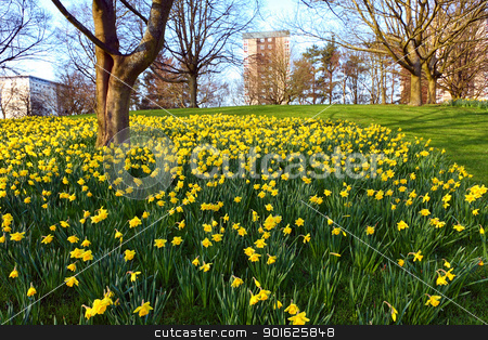 Meadow of daffodiles in the park  stock photo, Meadow of daffodiles in the park  by Juliet Photography