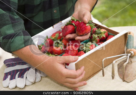 Farmer Gathering Fresh Strawberries in Baskets stock photo, Farmer Gathering Fresh Red Strawberries in Baskets with Tools and Gloves Nearby. by Andy Dean